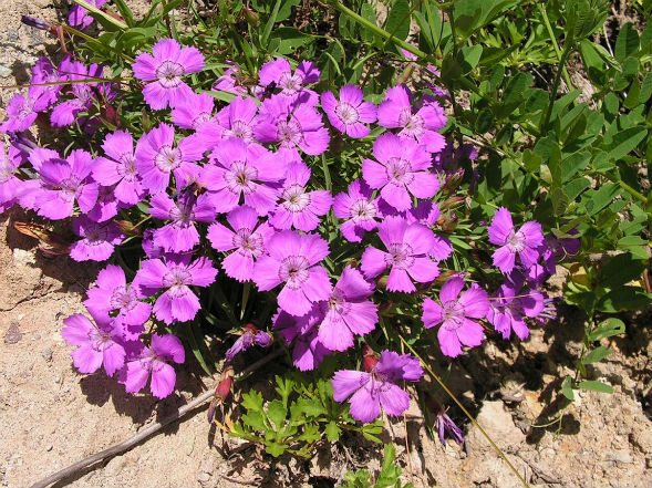 Декоративно-растущее многолетнее растение силена, смолевка