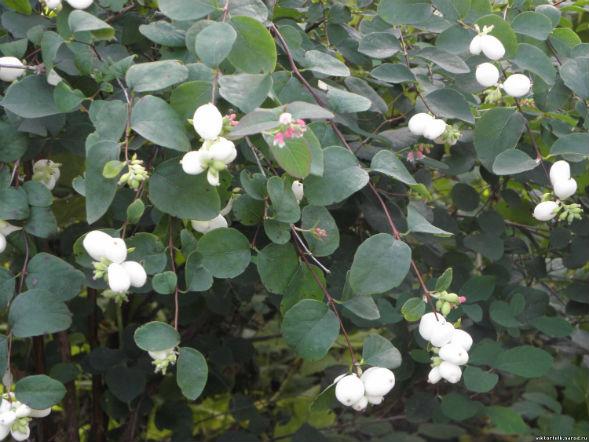 Декоративно-растущее многолетнее растение Снежноягодник, Снежник