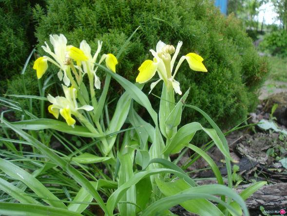Декоративно-растущее многолетнее растение юнона