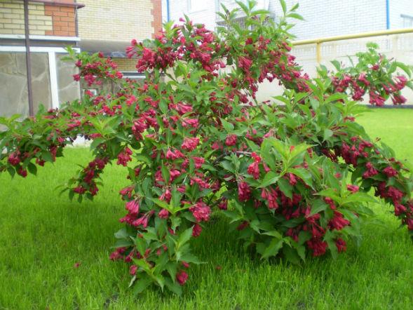 Декоративно-растущее многолетнее растение Вейгела