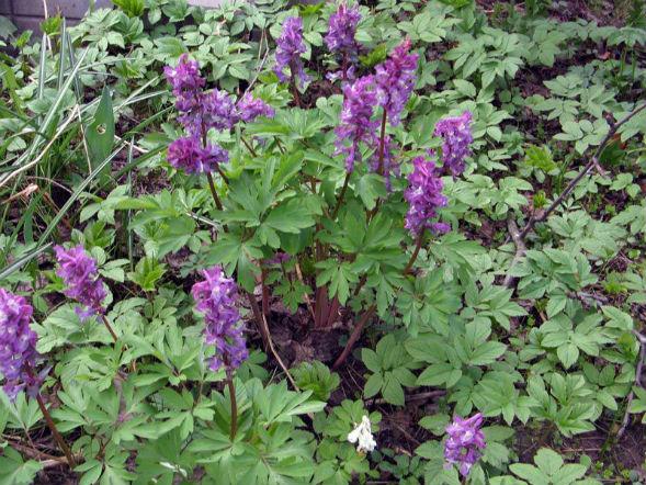 Декоративно-растущее многолетнее растение Хохлатка