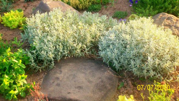Декоративно-растущее многолетнее растение ясколка серебристая