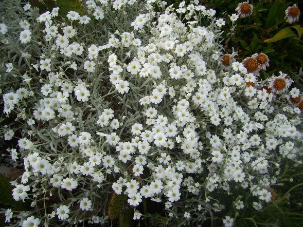 Декоративно-растущее многолетнее растение ясколка войлочная