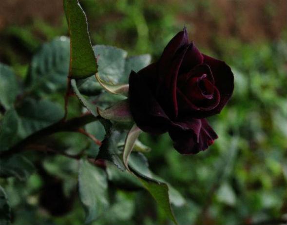 Чайно-Гибридная Роза Баккара