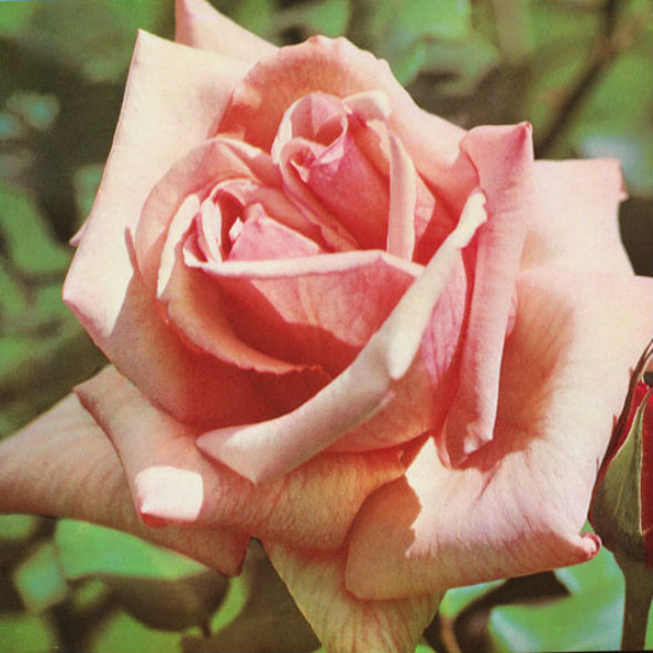 Чайно-Гибридная Роза Президент Мация
