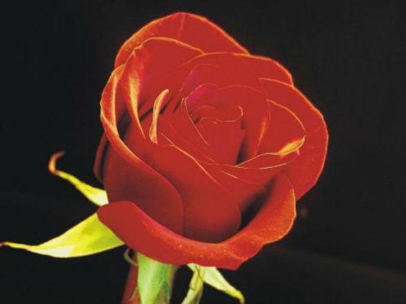 Чайно-Гибридная Роза Техас Сентенниэль