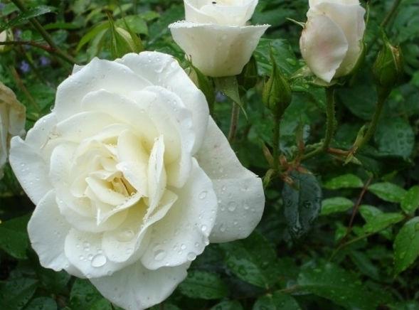 Чайно-Гибридная Роза Вирго