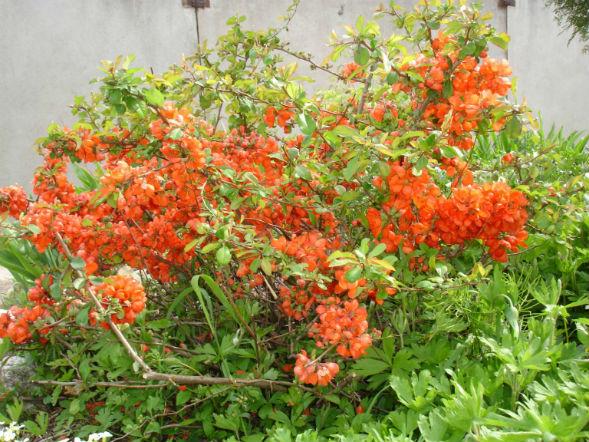 Декоративно-растущее многолетнее растение Айва Японская