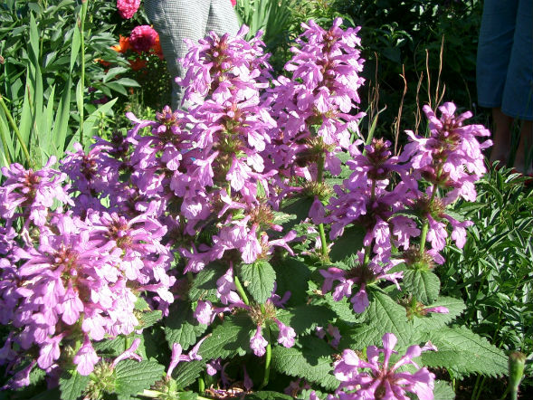 Декоративно-растущее многолетнее растение Буквица Крупноцветковая