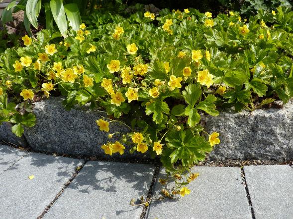 Декоративно-растущее многолетнее растение Дюшенея Индийская