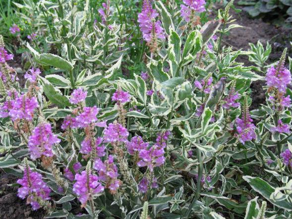 Декоративно-растущее многолетнее растение Физостенгия