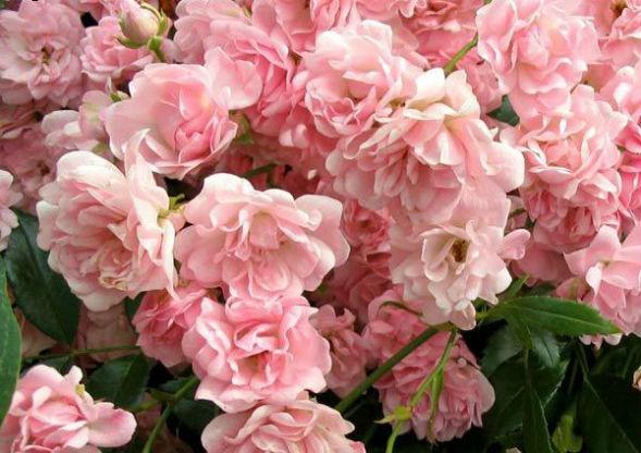 Гибридно-Полиантовые Розы