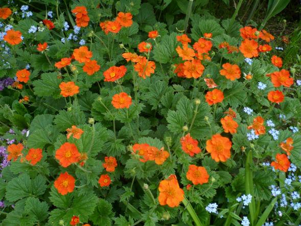Декоративно-растущее многолетнее растение Гравилад