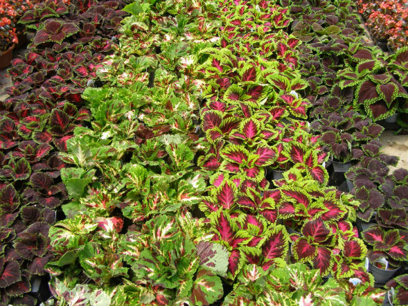 Декоративно-растущее многолетнее растение Колеус Гибридный