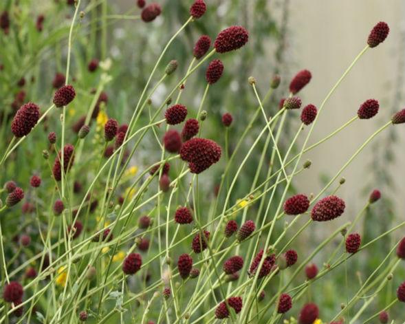 Декоративно-растущее многолетнее растение Кровохлебка