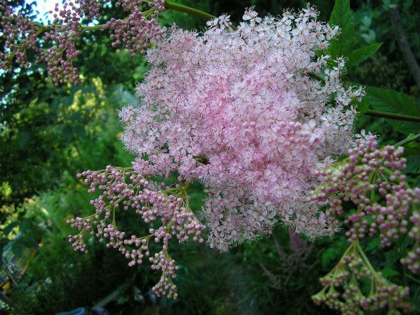 Декоративно-растущее многолетнее растение Лабазник