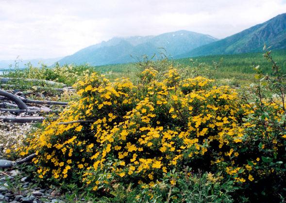 Декоративно-растущее многолетнее растение Лапчатка Плетевидная