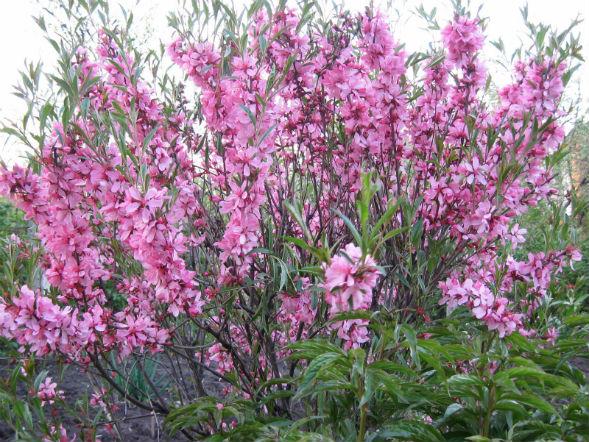 Декоративно-растущее многолетнее растение Миндаль Низкий