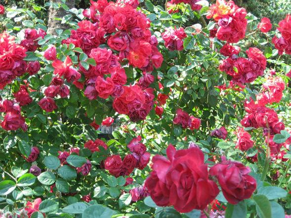 Парковая Роза Ржавчинная (Роза Рубигиноза)