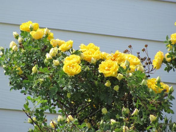 Парковая Роза Желтая