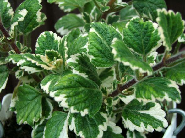 Декоративно-растущее многолетнее растение Плектрантус
