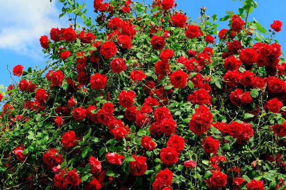 Декоративно-растущее многолетнее растение Роза