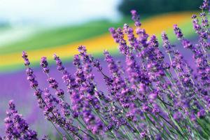 Декоративно-растущие многолетние растения семейства губоцветных