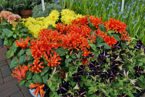 Декоративно-растущее многолетнее растение Шлемник