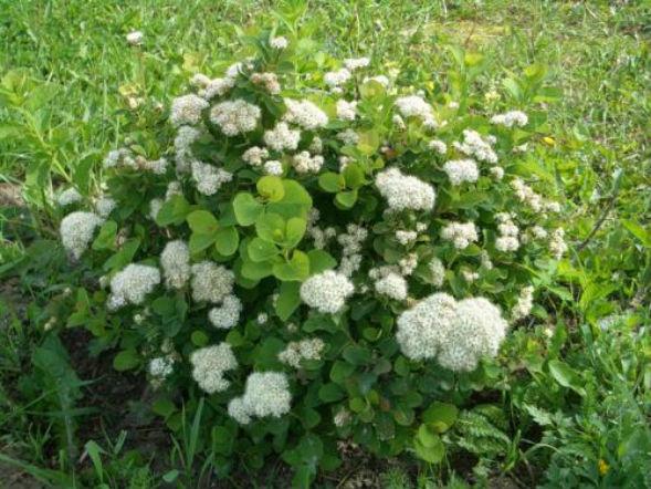 Декоративно-растущее многолетнее растение Таволга Березолистная
