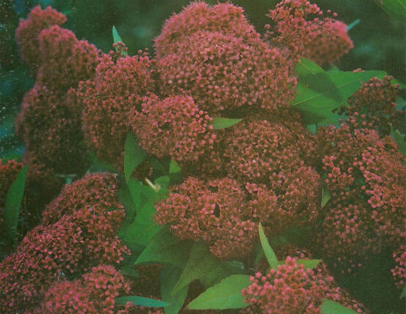 Декоративно-растущее многолетнее растение Таволга Буммальда