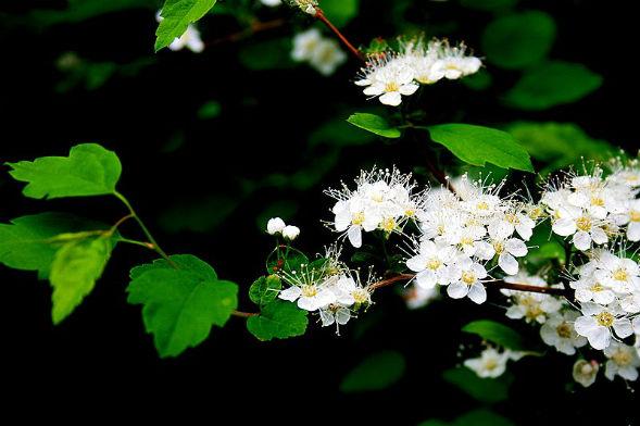 Декоративно-растущее многолетнее растение Таволга Дубравколистная