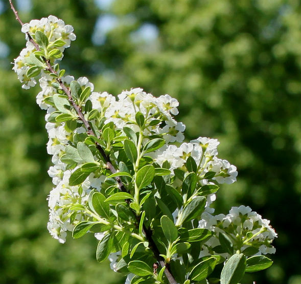 Декоративно-растущее многолетнее растение Таволга Ниппонская