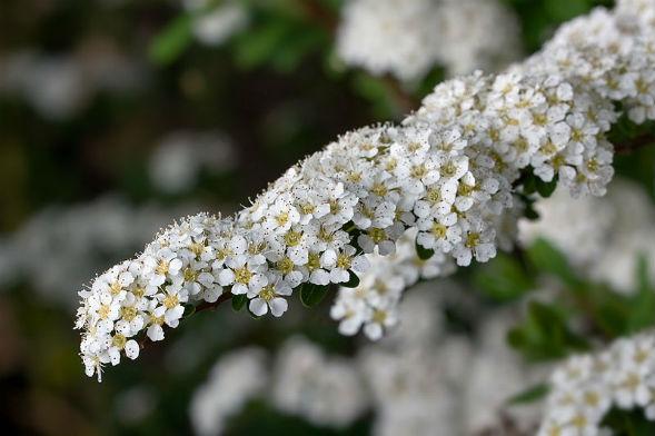 Декоративно-растущее многолетнее растение Таволга Остро зазубренная