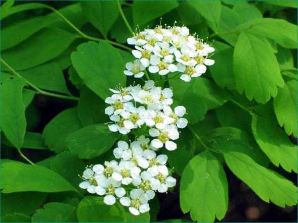 Декоративно-растущее многолетнее растение Таволга Средняя