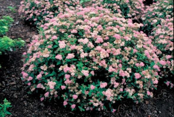 Декоративно-растущее многолетнее растение Таволга Японская