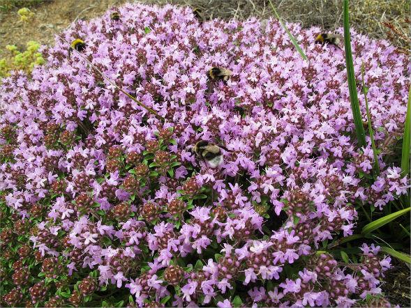 Декоративно-растущее многолетнее растение Тимьян Ползучий