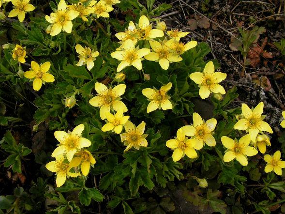 Декоративно-растущее многолетнее растение Вальдштейния