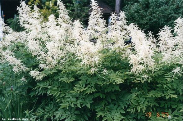 Декоративно-растущее многолетнее растение Волжанка Арункус