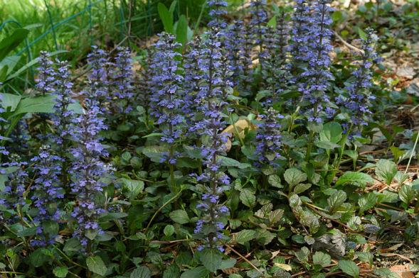 Декоративно-растущее многолетнее растение Живучка Ползучая