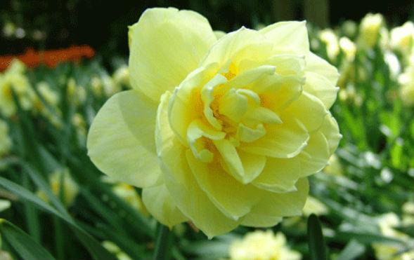 Махровые Нарциссы