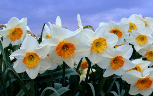 Мелкокорончатые Нарциссы