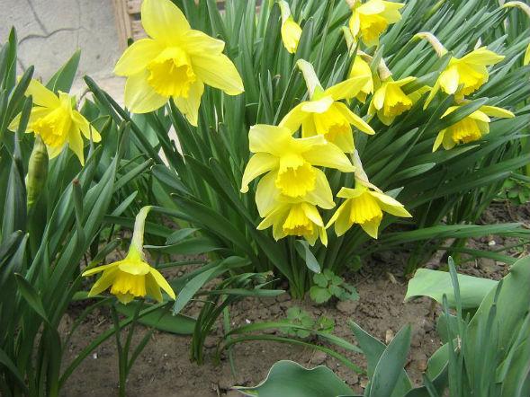 Декоративно-растущее многолетнее растение Нарцисс