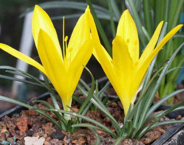 Декоративно-растущее многолетнее растение Штернбергия