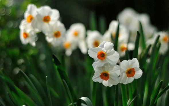 Татцетовидные Нарциссы