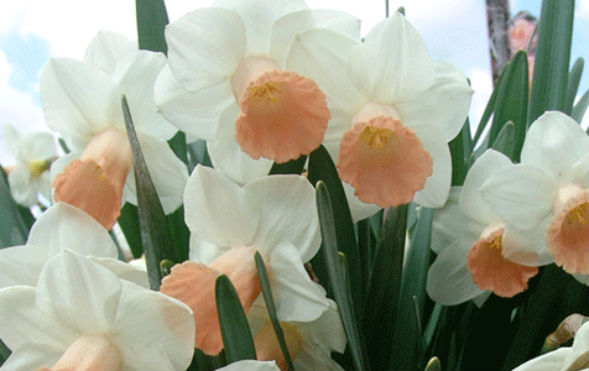 Трубчатые Нарциссы