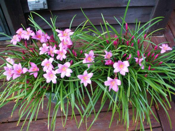 Декоративно-растущее многолетнее растение Зефирантес