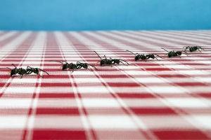 Как избавиться от муравьев доме или квартире