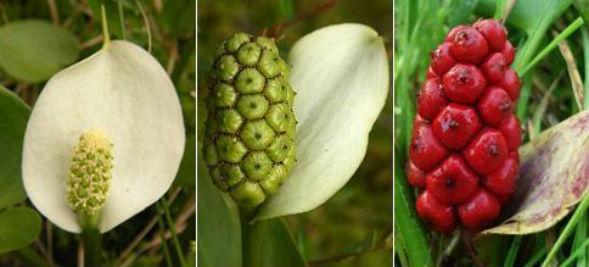 Белокрыльник болотный цвет
