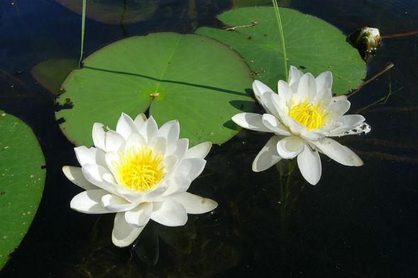 Кувшинка Нимфея (водяная белая Лилия)