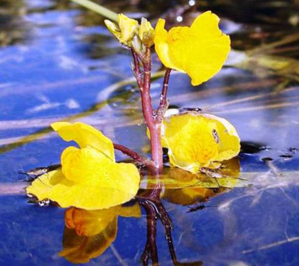Пузырчатка обыкновенная цветок
